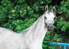 Portrait of arabian gray colt Stock Photo