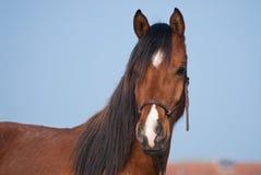 Portrait of an Arabian Horse Stock Photo