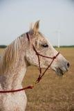 Portrait of an Arabian Horse Stock Photos