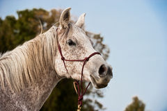 Portrait of an Arabian Horse Royalty Free Stock Image