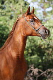 Portrait of arabian horse in the corral Royalty Free Stock Photography