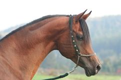 Portrait of arabian horse Stock Image