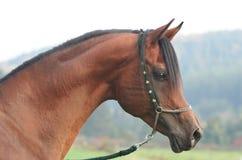 Portrait of arabian horse Stock Image