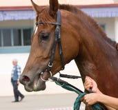 Portrait of arabian horse. Stock Photo