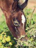 Portrait of arabian little foal. close up.  Israel Stock Images