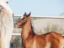 Portrait of arabian little foal with mom. Israel Stock Photos