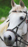 Portrait of arabian stallion Royalty Free Stock Photo