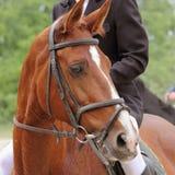 Portrait of arabian stallion. (details Royalty Free Stock Photos
