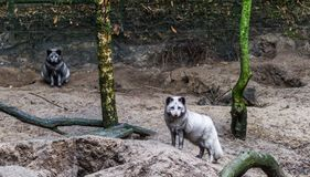 Portrait of a arctic fox standing on a sand hill, animal from the northern hemisphere. A portrait of a arctic fox standing on a sand hill, animal from the royalty free stock images