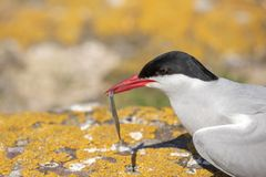 Arctic tern with a sand eel royalty free stock image