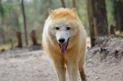 Portrait of Arctic Wolf Royalty Free Stock Images