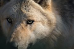 Portrait of an arctic wolf stock photography