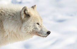 Portrait of arctic wolf Royalty Free Stock Photography