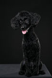 Portrait arrière de caniche à l'arrière-plan noir Photographie stock