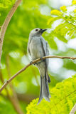 The portrait of  Ashy Drongo Royalty Free Stock Image
