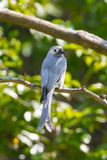 Portrait of Ashy Drongo Royalty Free Stock Photography