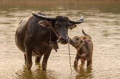 Portrait of Asia water buffalo, or carabao Royalty Free Stock Image