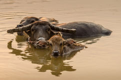 Portrait of Asia water buffalo, or carabao Stock Photography