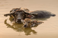 Portrait of Asia water buffalo, or carabao Stock Image