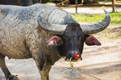 Portrait of asian big battle buffalo in paddock royalty free stock photos