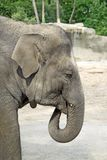 Portrait Asian Elephant Royalty Free Stock Photography
