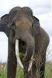 Portrait of an Asian elephant. Indonesia. Sumatra. Way Kambas National Park. Stock Image