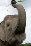 Portrait of an Asian elephant. Indonesia. Sumatra. Way Kambas National Park. Stock Photo