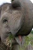 Portrait of an Asian elephant. Indonesia. Sumatra. Way Kambas National Park. Royalty Free Stock Photo