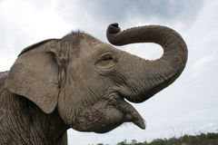 Portrait of an Asian elephant. Indonesia. Sumatra. Way Kambas National Park. Royalty Free Stock Photography