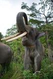 Portrait of an Asian elephant. Indonesia. Sumatra. Way Kambas National Park. Stock Photos