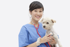 Portrait of Asian female veterinarian examining dog over gray background Stock Photography