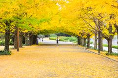 Portrait of Asian man taking the photo under the ginkgo root royalty free stock photography