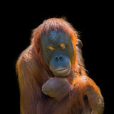 Portrait of Asian orangutan and baby on black background Royalty Free Stock Photography