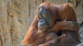 Portrait of Asian orangutan and baby Royalty Free Stock Photos