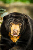 A portrait of Asiatic Black Bear Stock Photos