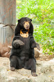 A portrait of Asiatic Black Bear standing Royalty Free Stock Photo