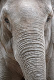 Portrait of an asiatic elephant Royalty Free Stock Photography