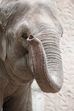 Portrait of an asiatic elephant Royalty Free Stock Photos