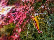 Portrait of a atlantic cleaner shrimp sitting on a rock, colorful prawn from the atlantic ocean. A portrait of a atlantic cleaner shrimp sitting on a rock royalty free stock photography
