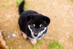Portrait of attentive black and tan shiba inu puppy sitting outside on the ground and looking to the camera. Portrait of attentive black and tan shiba inu puppy stock photography