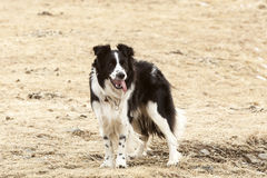 Portrait of an attentive border collie Royalty Free Stock Photos