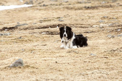 Portrait of an attentive border collie Royalty Free Stock Photography