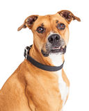Portrait Attentive Boxer Dog Over White Stock Photos
