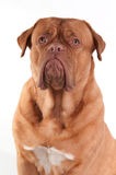 Portrait of attentive puppy of French Mastiff Stock Image