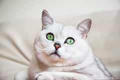 Portrait of attentive resting on the sofa  white-grey cat with beautiful big green eyes Stock Images