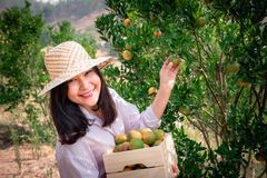 Portrait of Attractive Farmer Woman is Harvest Picking Orange in Organic Farm, Cheerful Girl in Happiness Emotion While Reaping stock images