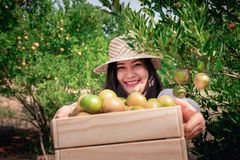 Portrait of Attractive Farmer Woman is Harvesting Orange With Her Basket in Organic Farm, Cheerful Girl in Happiness Emotion While stock images