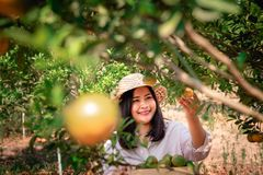 Portrait of Attractive Farmer Woman is Harvesting Orange in Organic Farm, Cheerful Girl in Happiness Emotion While Reaping Oranges stock photo
