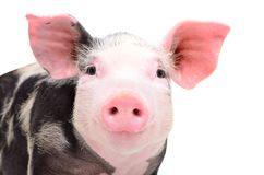 Portrait of attractive little piggy royalty free stock photo