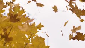 Portrait of an attractive man throws yellow leaves up in the autumn above the head in the park. Emotions stock video